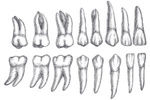 La dentición permanente en los humanos